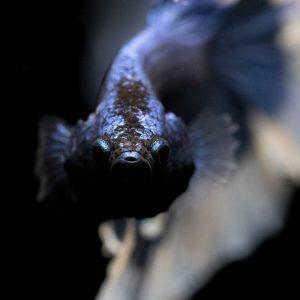 betta, splendens, aquarium
